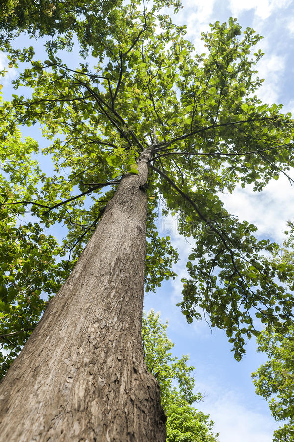 Teak tree. Teak forests in northern Thailand royalty free stock photos