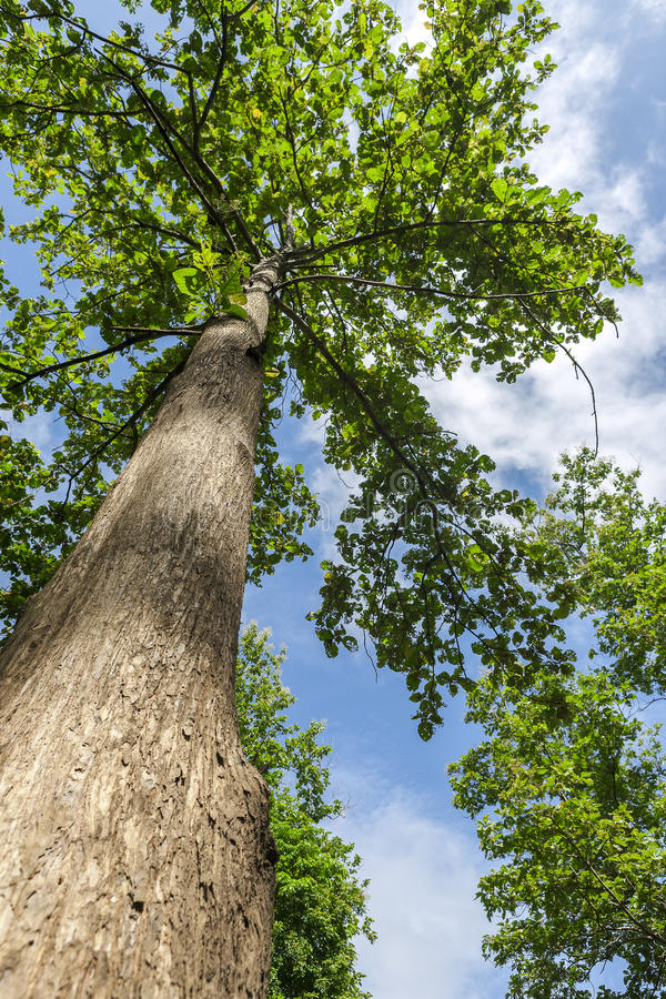 Teak tree. Teak forests in northern Thailand royalty free stock photo