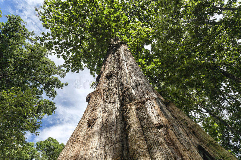 Teak tree. Teak forests in northern Thailand stock photography