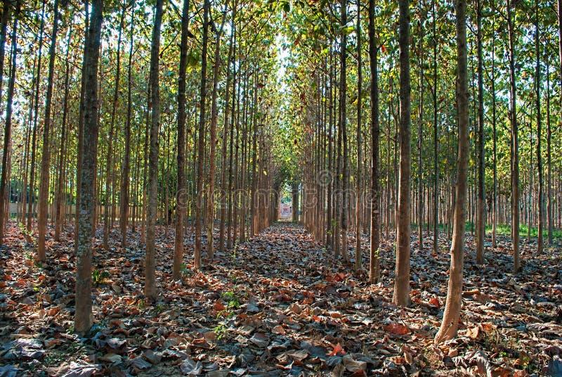 Teak tree. Plantation Teak tree in Thailand stock photo