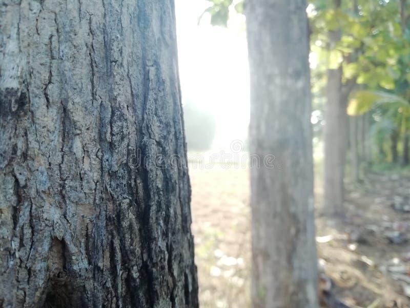 Teak stich. Teak trees with morning sunlight royalty free stock photos