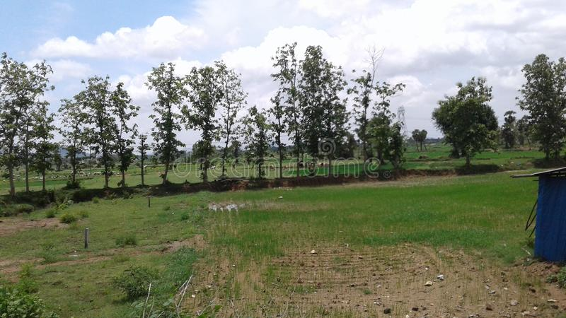 Teak trees separating fields. Farming stock photography