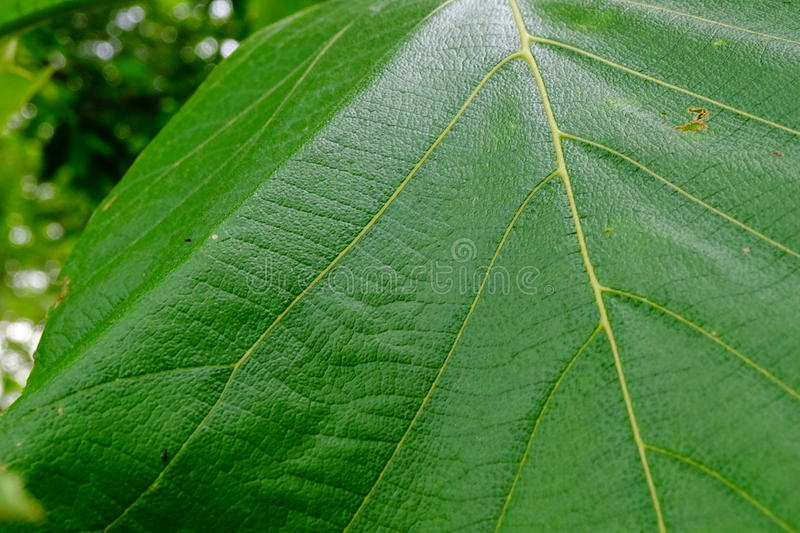 Teak Wood Leaf. Beautiful portrait of Teak wood Leaf is an organ of a vascular plant and is the principal lateral appendage of the stem.The leaves and stem stock photo
