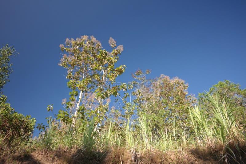 Teakbomen door Kalanjana gras worden omringd dat royalty-vrije stock afbeelding