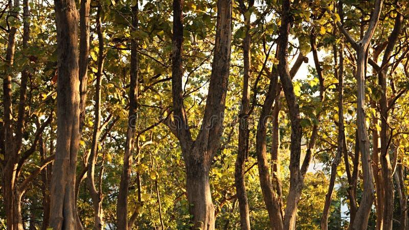 Teakholzbaum  Teakholz-Baum stockfoto. Bild von blatt, sonne, sommer - 17785880