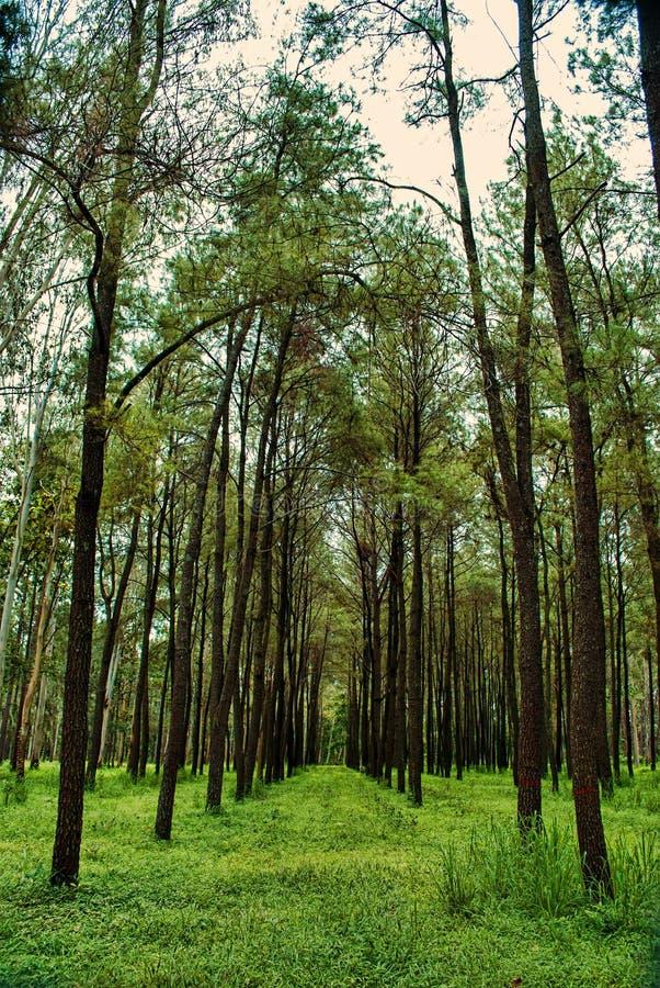 Teakholzbaum  Teakholzbaum stockfoto. Bild von wiesen, baum, holz, braun - 44350174