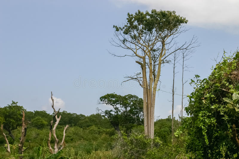 Teakholzbaum  Teakholzbaum stockbild. Bild von leben, kenyan, mombasa - 88648103