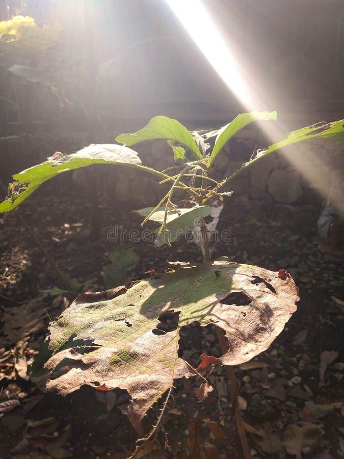 Teakholzblätter während der Trockenzeit stockfotos