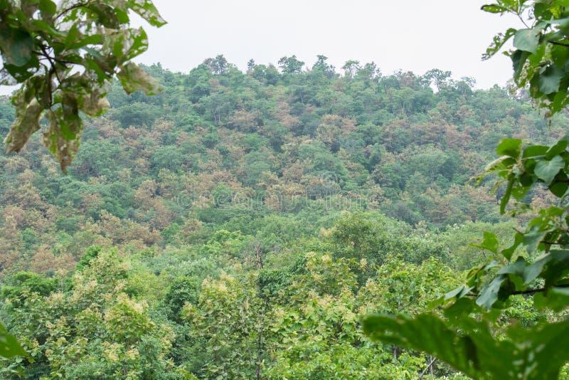 Teakträdefoliatorhemsökelse royaltyfria foton