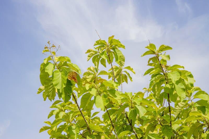 Teakwood wierzchołek z niebieskim niebem fotografia royalty free