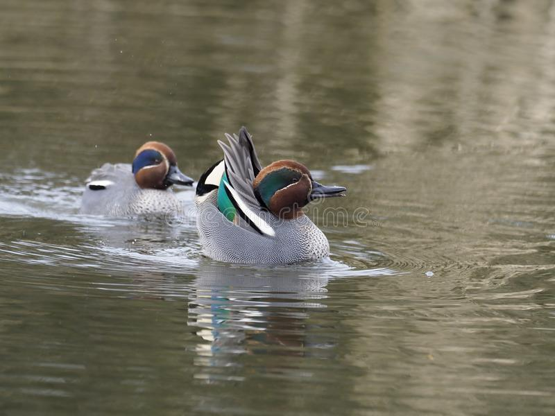 Teal, Anas crecca. Two males displaying, Gloucestershire, March 2018 stock photography
