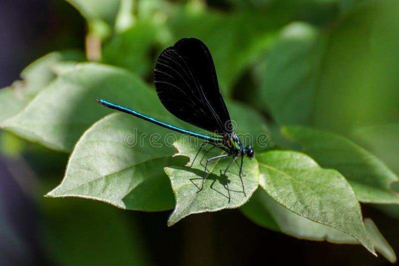 Teal Dragonfly com asas pretas em uma folha foto de stock royalty free