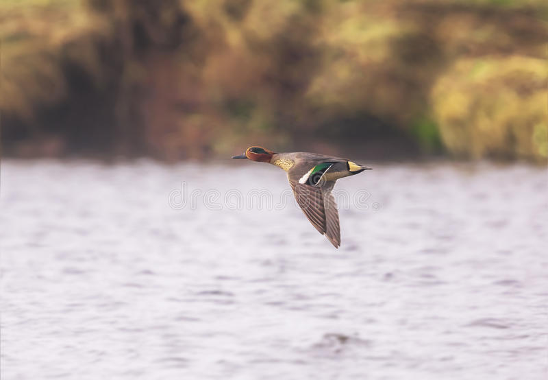 A Teal duck royalty free stock image