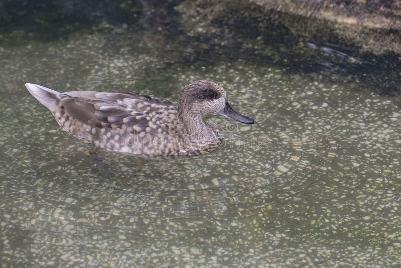 Teal Duck marmoreado fotos de stock