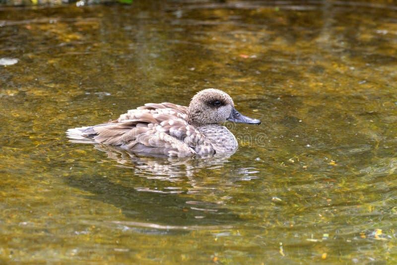 Teal Duck marmorizzato immagine stock libera da diritti