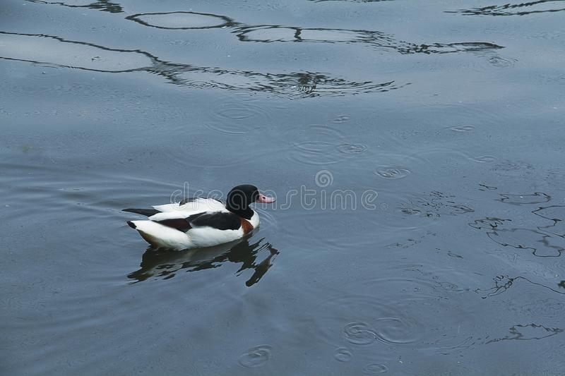 Teal duck swimming on lake. stock photography