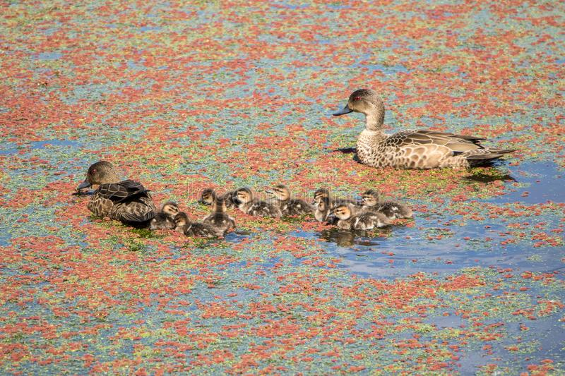Teal Ducklings With Parents photo stock