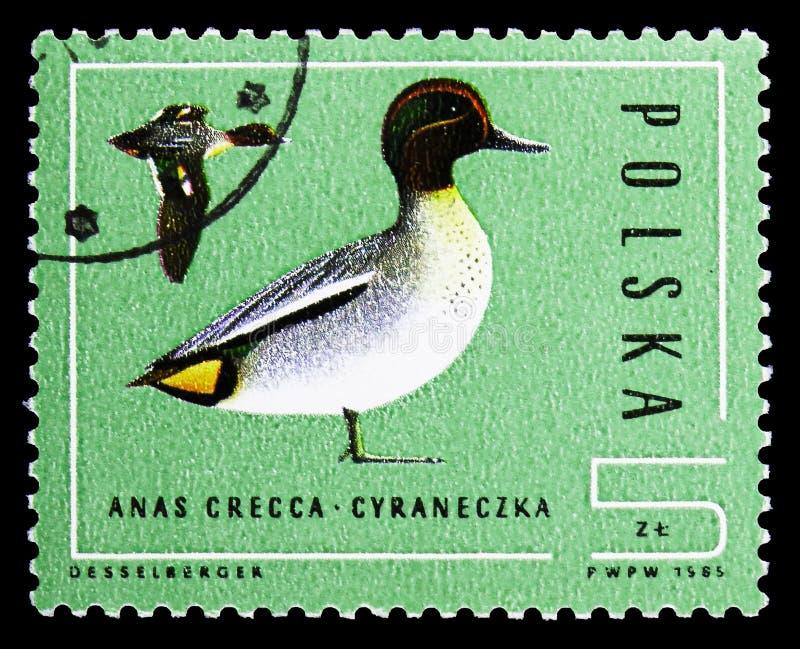 Teal euroasiatico (crecca) di anas, serie delle anatre selvatiche, circa 1985 fotografie stock libere da diritti