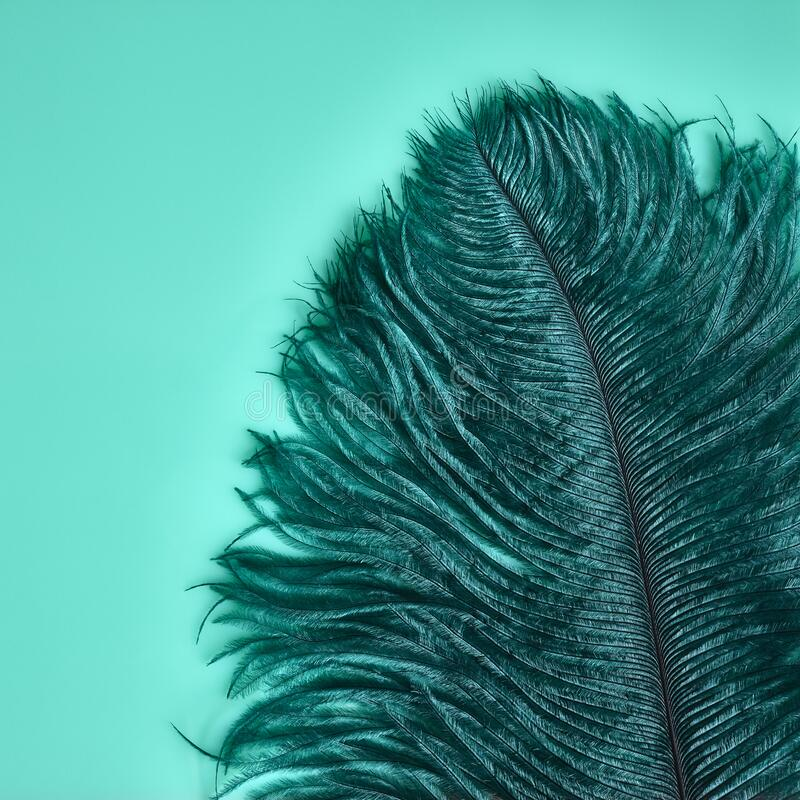 Teal Ostrich Feather royalty free stock photo