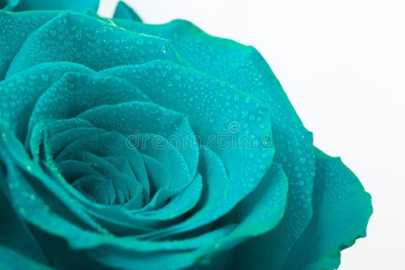 Teal Rose bonito imagens de stock