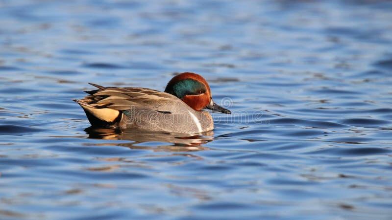 Teal Swimming à ailes par vert sur l'eau bleue