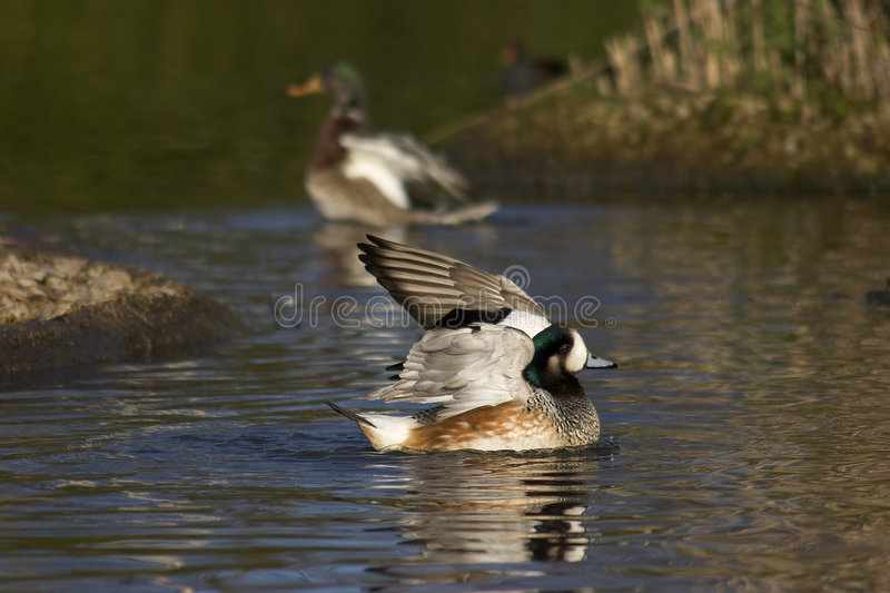 Teal at Wetland Reserve royalty free stock photo