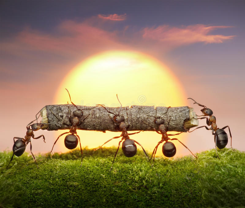 Team of ants carry log on sunset, teamwork concept. Team of ants carry log on sunset or sunrise, teamwork concept stock images