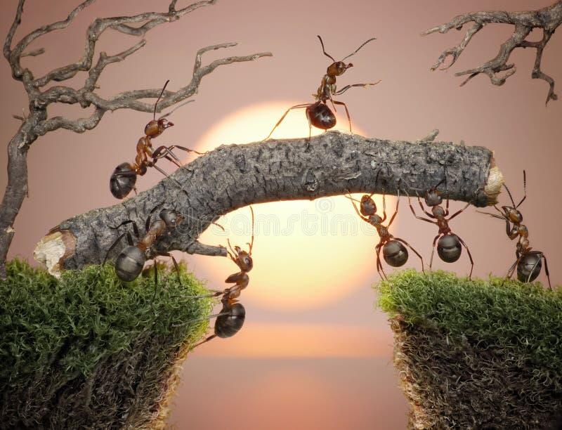 Team of ants constructing bridge, teamwork. Team of ants with chief constructing bridge over water on sunrise or sunset, teamwork royalty free stock photo