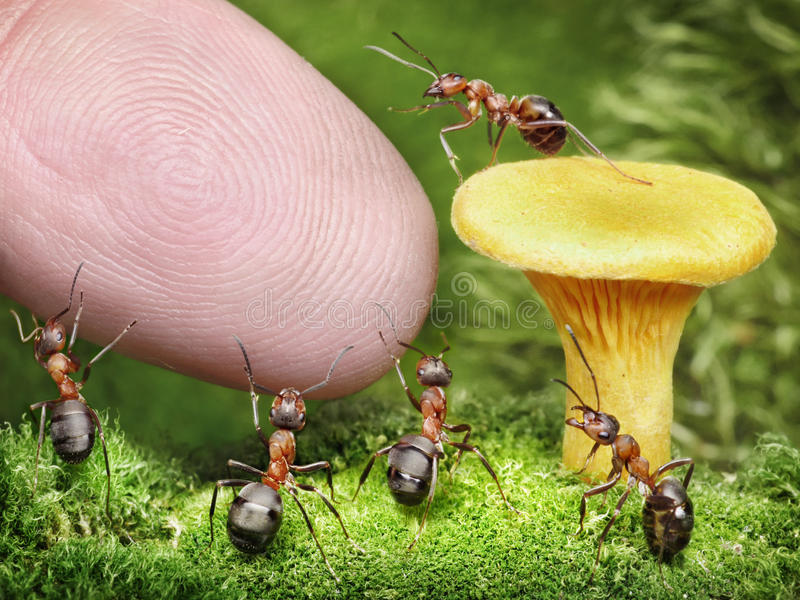 Team of ants guarding chanterelle from human royalty free stock image