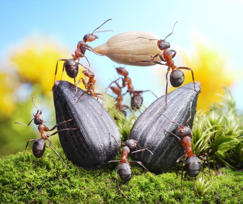 Team of ants harvesting sunflower crop, teamwork royalty free stock photo