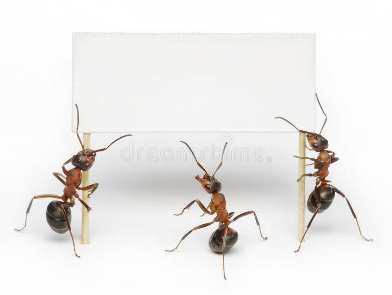 Team of ants holding blank, message or billboard royalty free stock photography