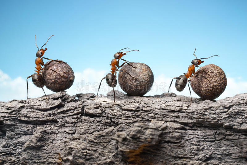 Team of ants rolling stones on rock, teamwork. Team of red ants rolling stones on rock, teamwork stock photography