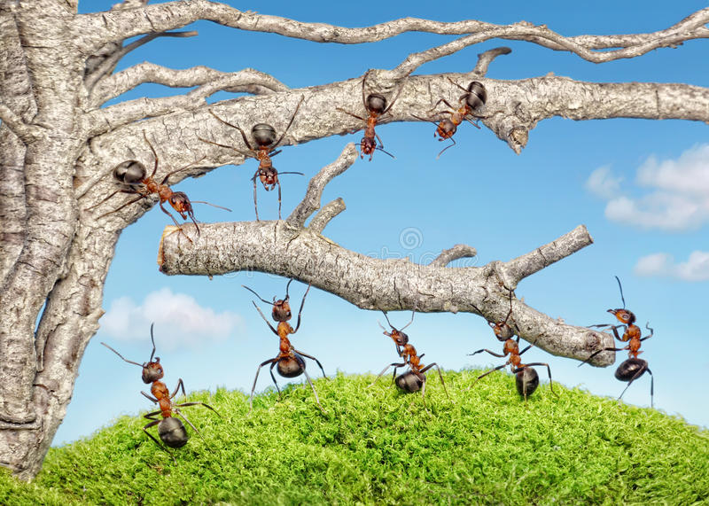 Team of ants work with branch, teamwork stock images