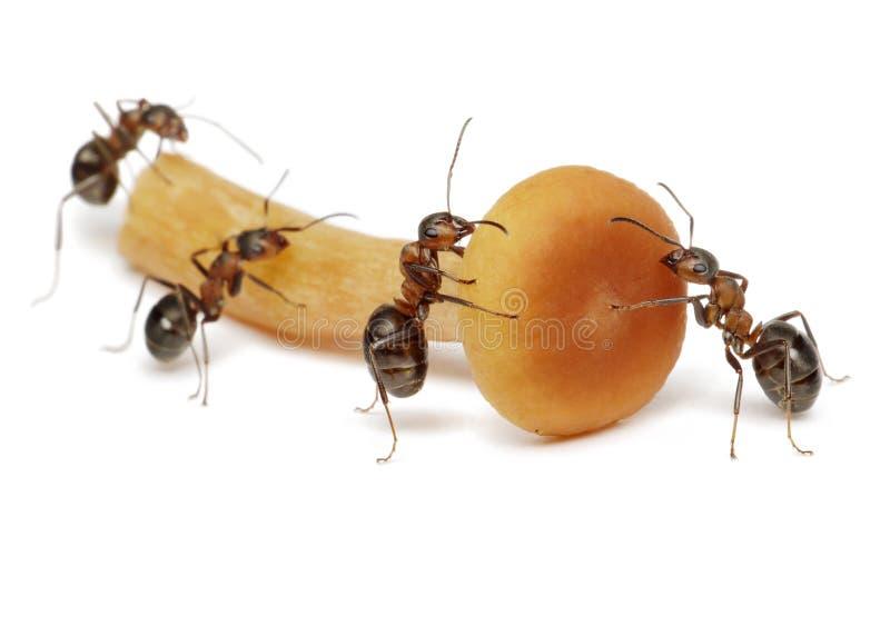 Team of ants work with mushroom, teamwork