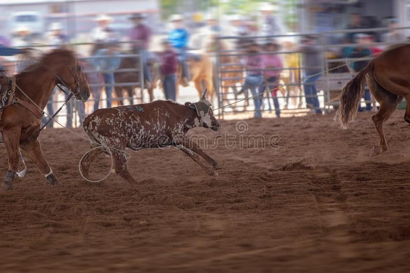 Team Calf Roping At en rodeo arkivbilder