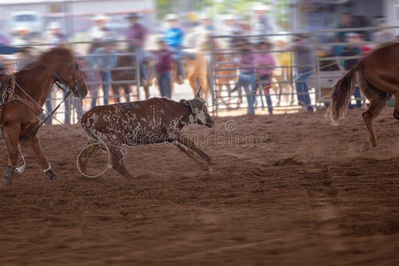 Team Calf Roping At un rodeo imagenes de archivo