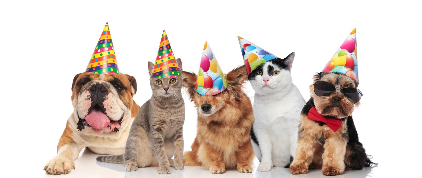 Team of five cats and dogs ready for birthday party. Team of five cats and dogs of different brees ready for birthday party while sitting and lying on white royalty free stock image