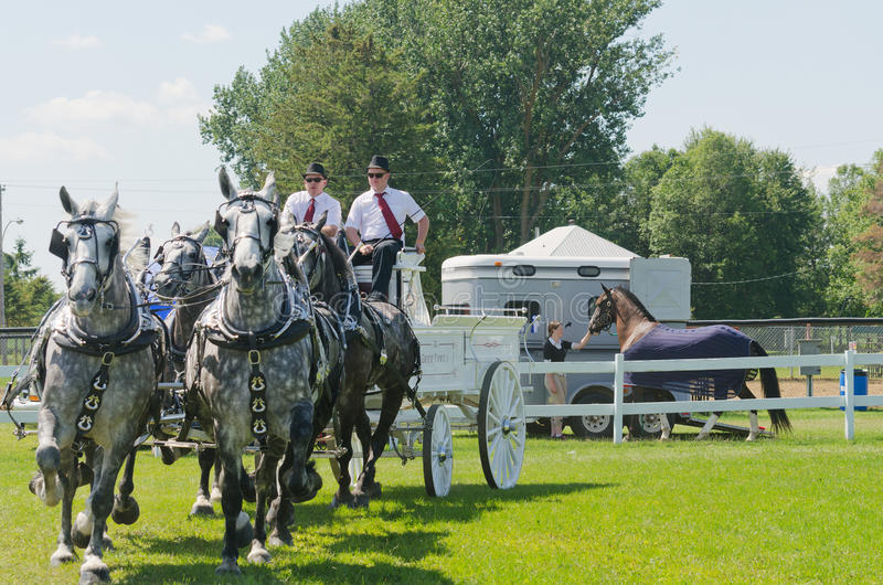 Team of Grey Percherons at Country Fair royalty free stock images
