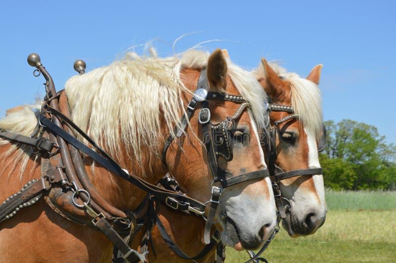 Team of Horses stock photos