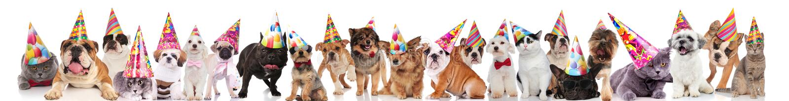 Team of many cats and dogs wearing birthday hats. While standing, sitting and lying on white background royalty free stock photos