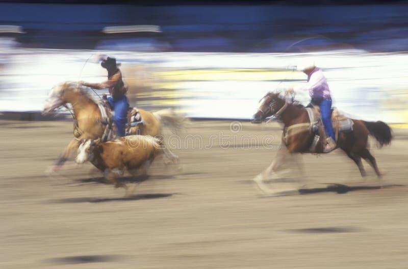 Team o evento roping, dias espanhóis velhos, rodeio da festa e a mostra conservada em estoque do cavalo, conde Warren Showgrounds imagem de stock royalty free