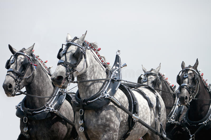 Team of Percheron Draft Horses royalty free stock photo
