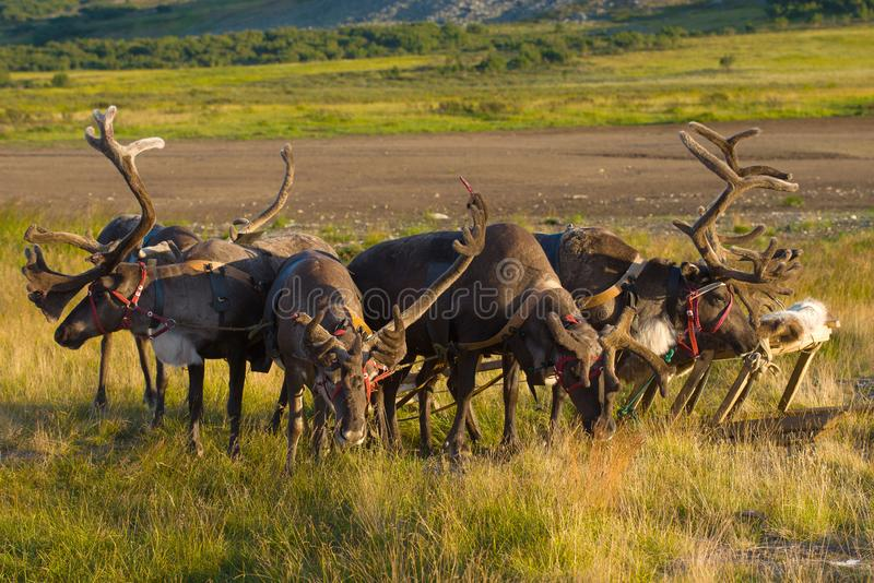 Team of reindeers in the tundra close-up. Yamal, Russia. Team of reindeers in the tundra close up. Yamal, Russia royalty free stock photos