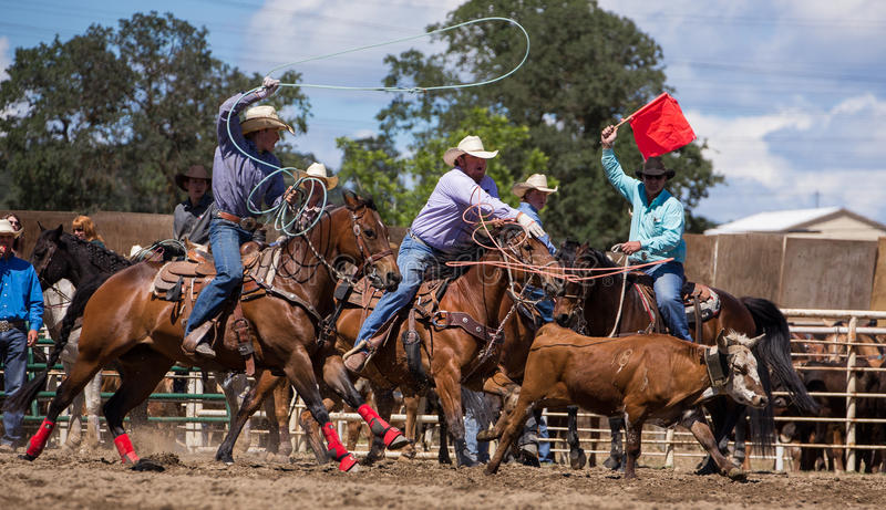 Team Roping. A cowboy catches his calf. in the team roping event. The rodeo in Cottonwood, California is a popular event on Mother's Day weekend in this small royalty free stock images