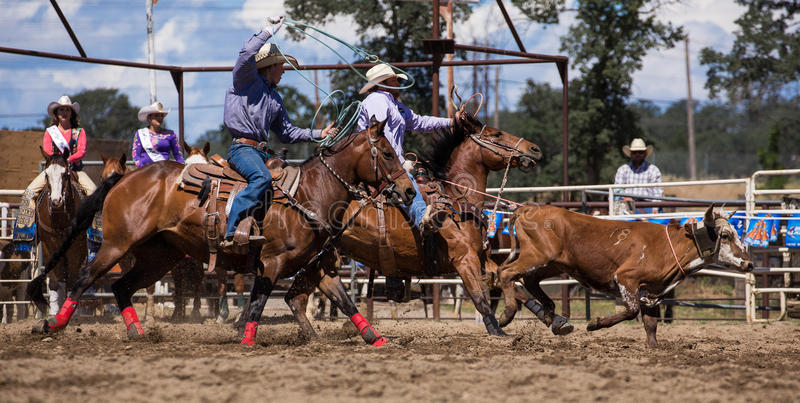 Team Roping. A cowboy catches his calf. in the team roping event. The rodeo in Cottonwood, California is a popular event on Mother's Day weekend in this small royalty free stock image