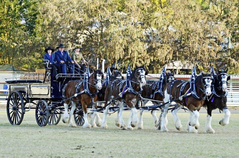 Team sex Clydesdale utkasthästar som traver dra vagnen fotografering för bildbyråer