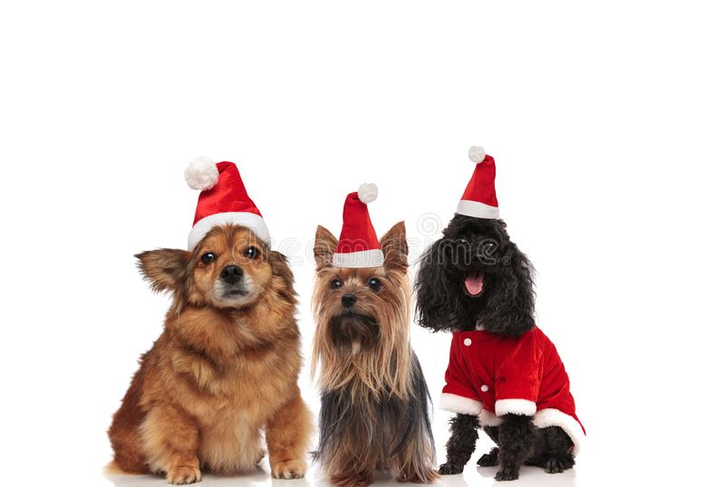 Team of three happy dogs wearing santa claus costume royalty free stock photo