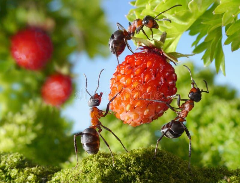 Team van mieren en aardbei, landbouwgroepswerk stock afbeeldingen