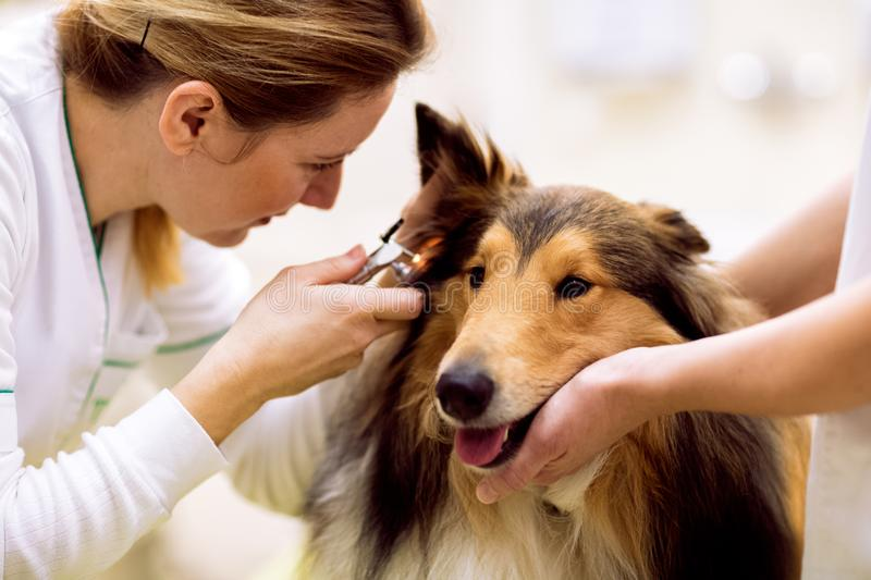 Veterinarian check sick ear to sick dog with otoscope. Team of veterinarian check sick ear to sick dog with otoscope royalty free stock photos