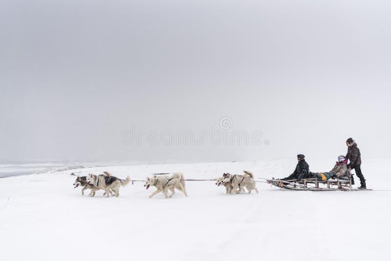 Team von Schlittenhunden in einem Blizzard lizenzfreie stockfotografie